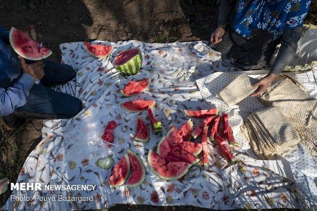 برداشت بادام زمینی در آستانه اشرفیه