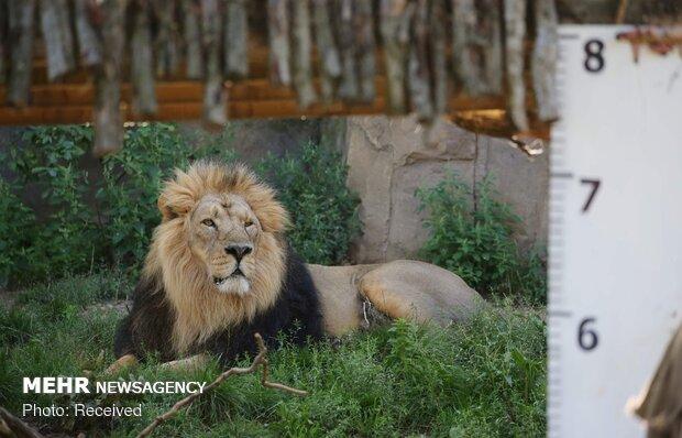 وزن کشی سالانه در باغ وحش لندن