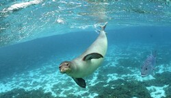 Caspian seals population shrinking alarmingly