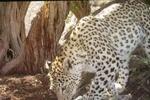 فیلمی از یک پلنگ در پارک ملی بمو که در جستجوی شکار است