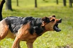 حمله سگهای خانگی به شهروندان در سایه غفلت مسئولین