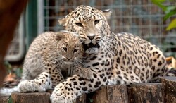 Traps picture 10 Persian leopards in southwestern Iran