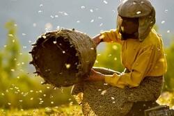 ۱۷۵۴ زنبوردار در سقز فعالیت دارند/تولید سالانه ۵۳۰ تن عسل
