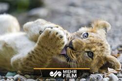 کمک خانواده دزفولی برای نجات گونه شیر در خطر انقراض