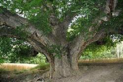 ۲۱ درخت کهنسال استان مرکزی در فهرست آثار ملی به ثبت رسید