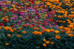کشت ۸ میلیون نشاء پاییزه در شهر رفسنجان