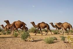 ورود خسارتبار شترها به بیابانهای البرز/ تخریب ۳۰ درصد عرصه ها