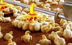 صادرات جوجه یکروزه آزاد شد