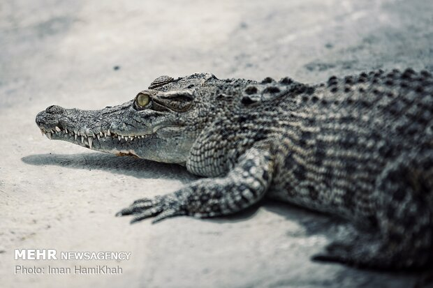 Crocodile farm in Malayer