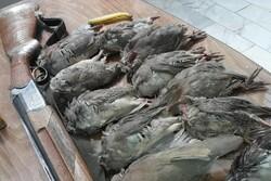 دستگیری شکارچیان در پناهگاه خوش ییلاق شاهرود/ لاشه ۱۳ کبک کشف شد