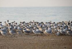 ثبت رکورد در بازگیری از پرندگان مهاجرحلقه گذاری شده استان بوشهر