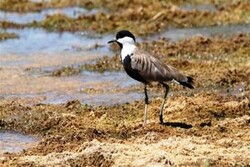 Spur winged plover spotted in Lorestan Prov.