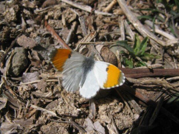 کشف یک زیرگونه جدید از پروانهها در کوه لالهزار کرمان