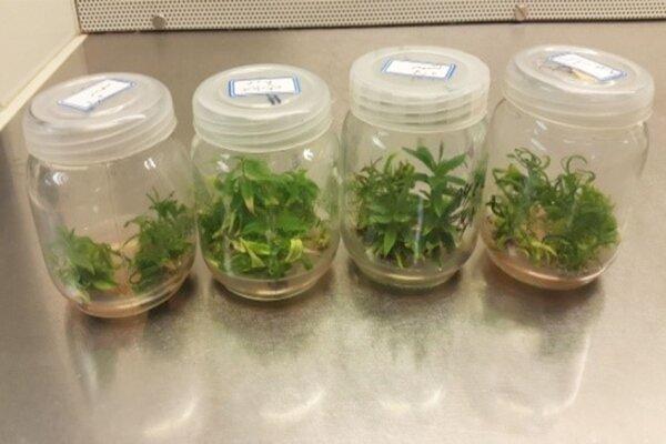 ایجاد مشاغل خانگی کم هزینه با پرورش گیاهان زینتی به روش کشت بافت
