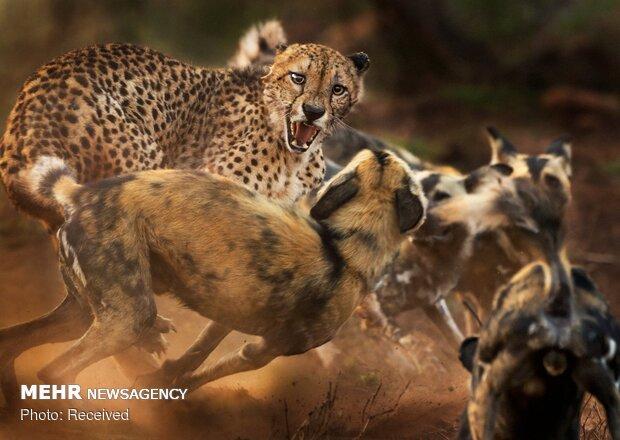 شرکت کنندگان در مسابقه عکاس حیات وحش سال