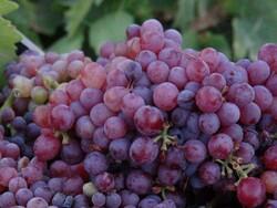 برداشت انگور از ۲۵ هزار هکتار از باغات شهرستان تاکستان آغاز شد