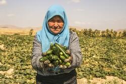 İranlı kadınların yaptığı çubuk turşu yurt dışından ilgi görüyor