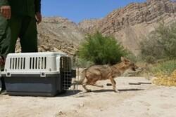 رهاسازی دو شغال و یک پلیکان پا خاکستری در طبیعت بوشهر