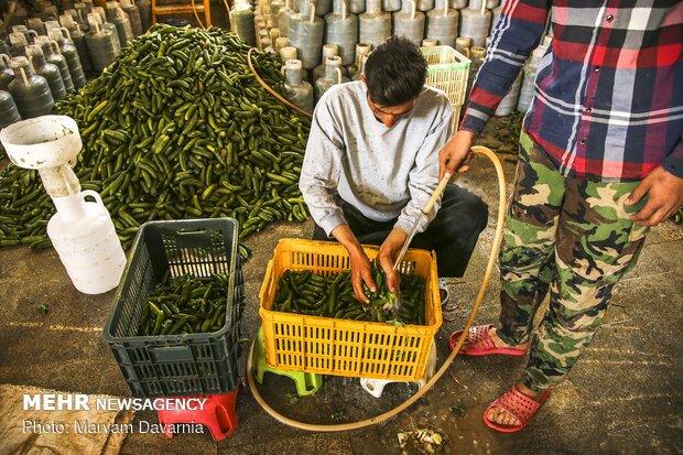 Yielding currency via exporting pickled cucumbers in N Khorasan prov.