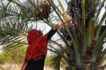 Hürmüzgan eyaletinde hurma hasadı başladı