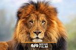 Hindistan'da aslanlar kenti bastı