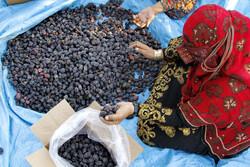 بندر عباس میں خرما جمع کرنے کی فصل کا آغاز