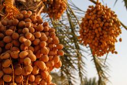 Date harvest in Bandar Abbas