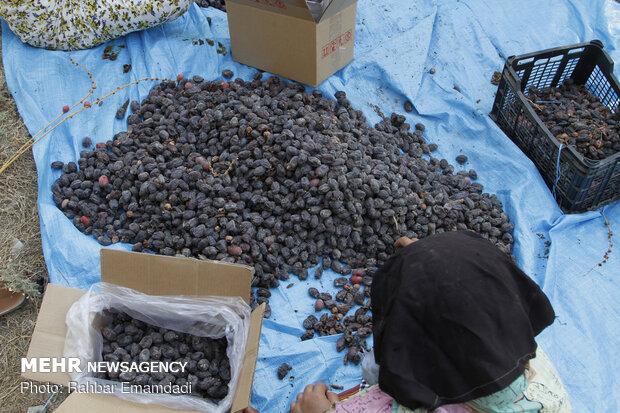 برداشت خرما از  روستای کنارو شهرستان بندرعباس