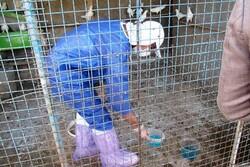 انجام واکسیناسیون هدفمند علیه بیماری آنفلوانزای پرندگان در قزوین