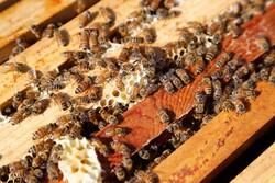 میامی ۵۸۱ کندوی عسل دارد/ پیشبینی افزایش تولید عسل