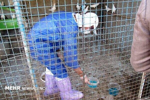 """طیور شهرستان کهگیلویه علیه بیماری """"نیوکاسل"""" واکسینه می شوند"""