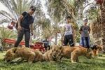 Gazze'de yeni doğan yavru aslanlara yoğun ilgi