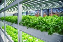 هزار هکتار کشت سبزی و صیفی به گلخانهها منتقل میشود