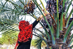 Reaping dates starts in Hormozgan province