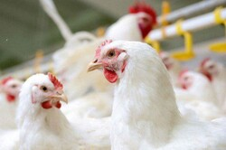 ایرانشهر امسال در تولید گوشت مرغ به خودکفایی میرسد