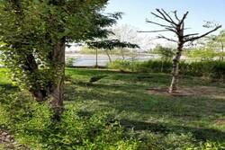 نابودی ۹۵ هکتار از درختان پارک جنگلی چیتگر