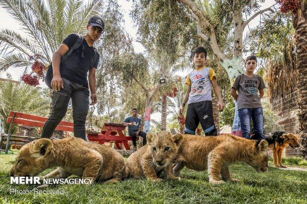 أطفال الأسود في حديقة الحيوان في غزة