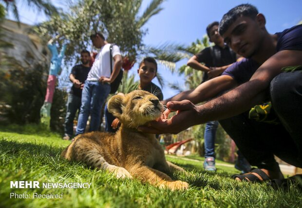 yavru aslanlar