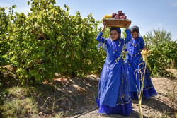برداشت انگور از تاکستان های شهرستان کوار استان فارس