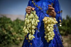 ایران کے صوبہ فارس میں انگور جمع کرنے کی فصل کا آغاز