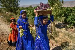 قطف العنب بمدينة فارس جنوب غربي ايران / صور