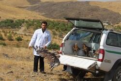 ۶۰ بهله پرنده شکاری در طبیعت همدان رها شد