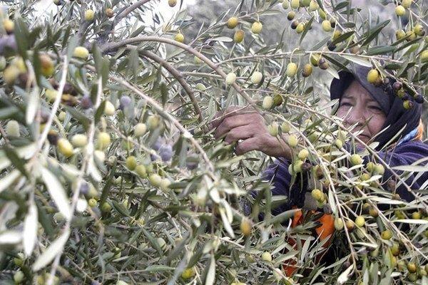 ۲۵ هزار تن زیتون در باغات استان قزوین تولید می شود