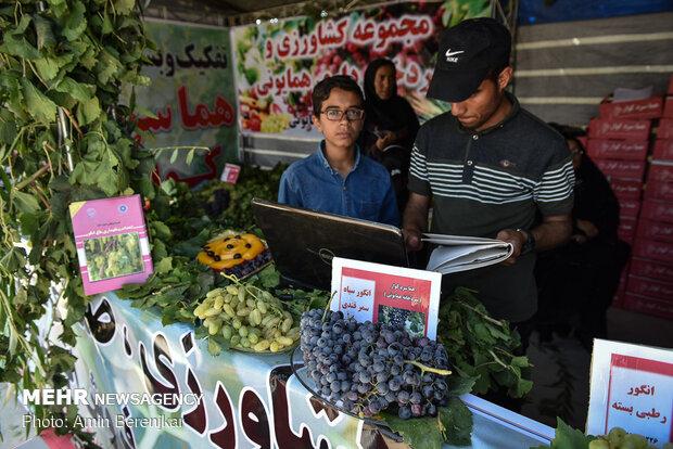 قطف العنب بمدينة فارس جنوب غربي ايران