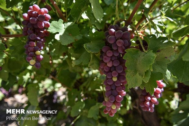 İran'da üzüm hasadı