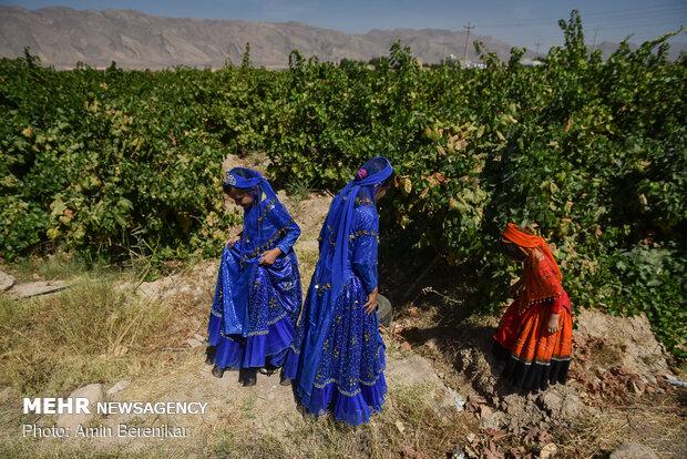 İran'da üzüm hasadıİran'da üzüm hasadı