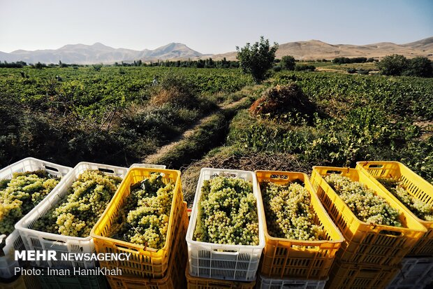 Harvesting grapes in Malayer