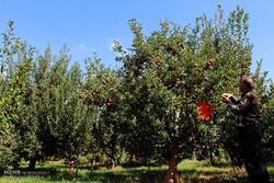 تعهد۶۴۳میلیارد تومانی دولت برای بیمه محصولات کشاورزی خراسان جنوبی