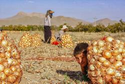 صوبہ چہار محال بختیاری میں پیاز جمع کرنے کی فصل کا آغاز