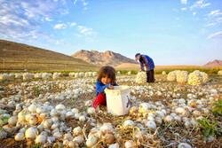 Çaharmahal ve Bahtiyari'de soğan hasadı başladı